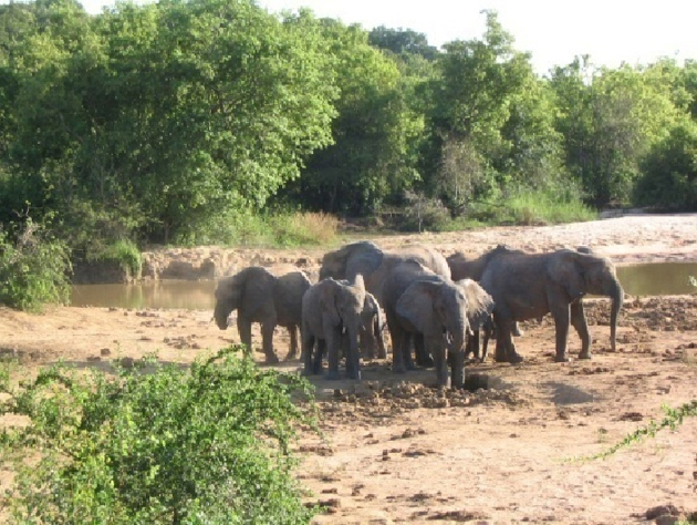 African bush elephants cooling off in the cool muds