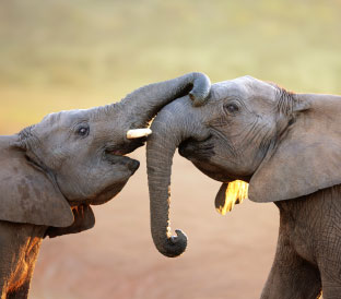 Elephant Love-SouthAfrica